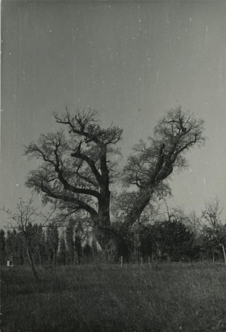 Balatonakarattya, Rákóczi-szilfa