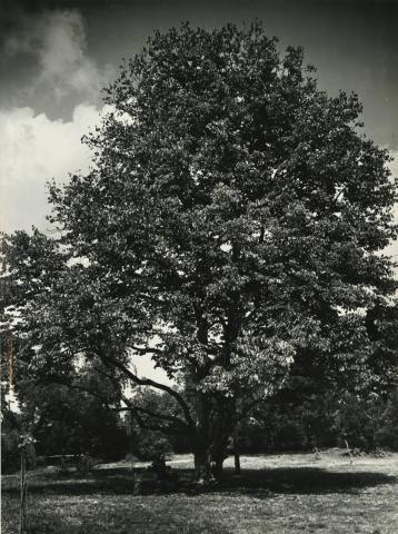 Gyöngyös, az egykori Orczy-kastély parkjában álló mogyorófa